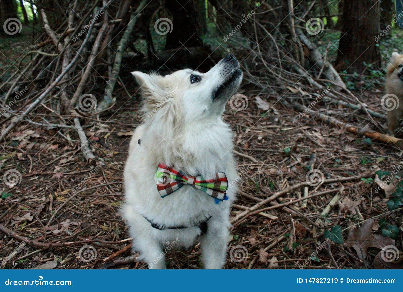 Pomeranian con la cravatta a farfalla in legno