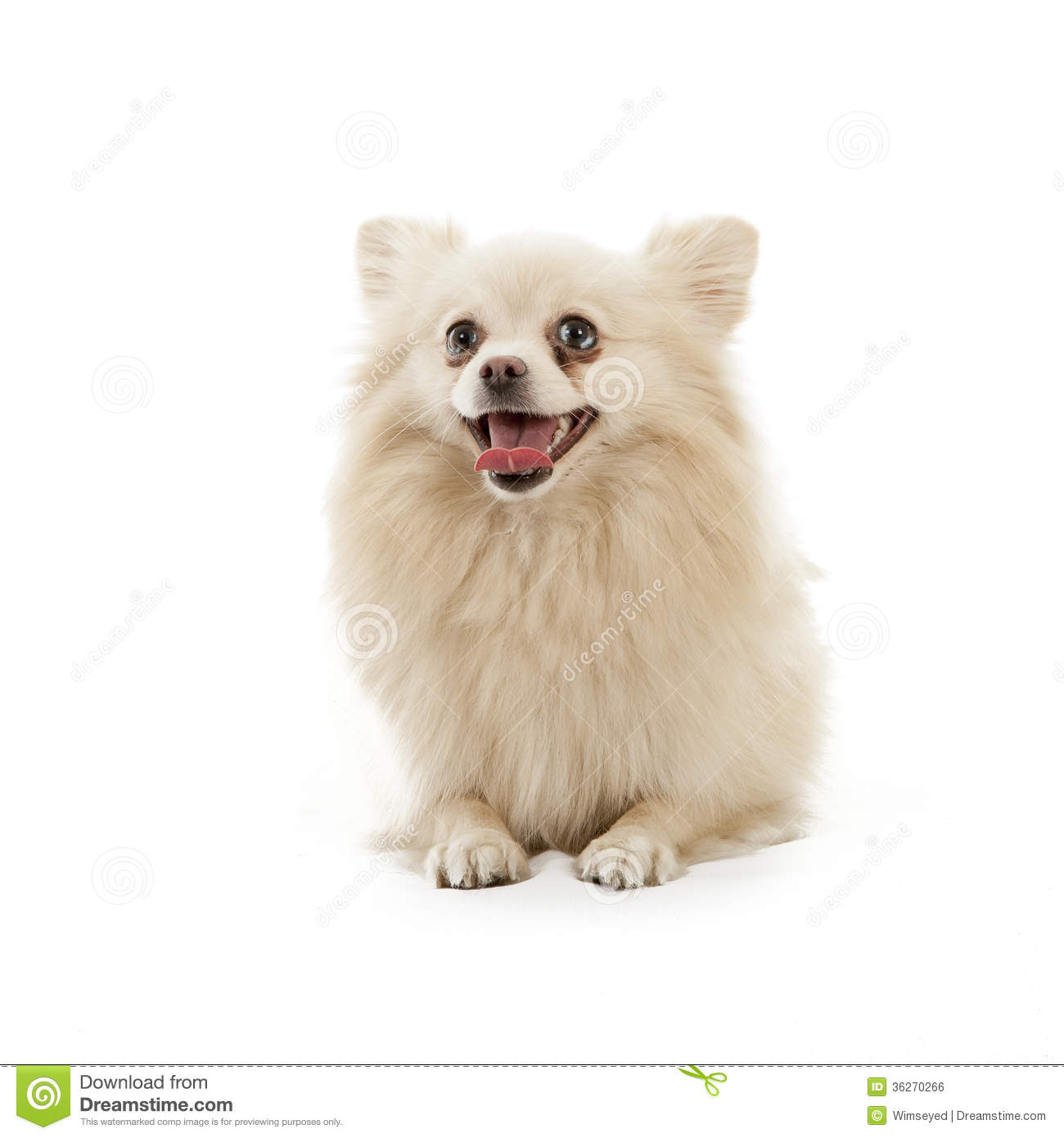 Displaying 17> Images For - Pomeranian Clipart...