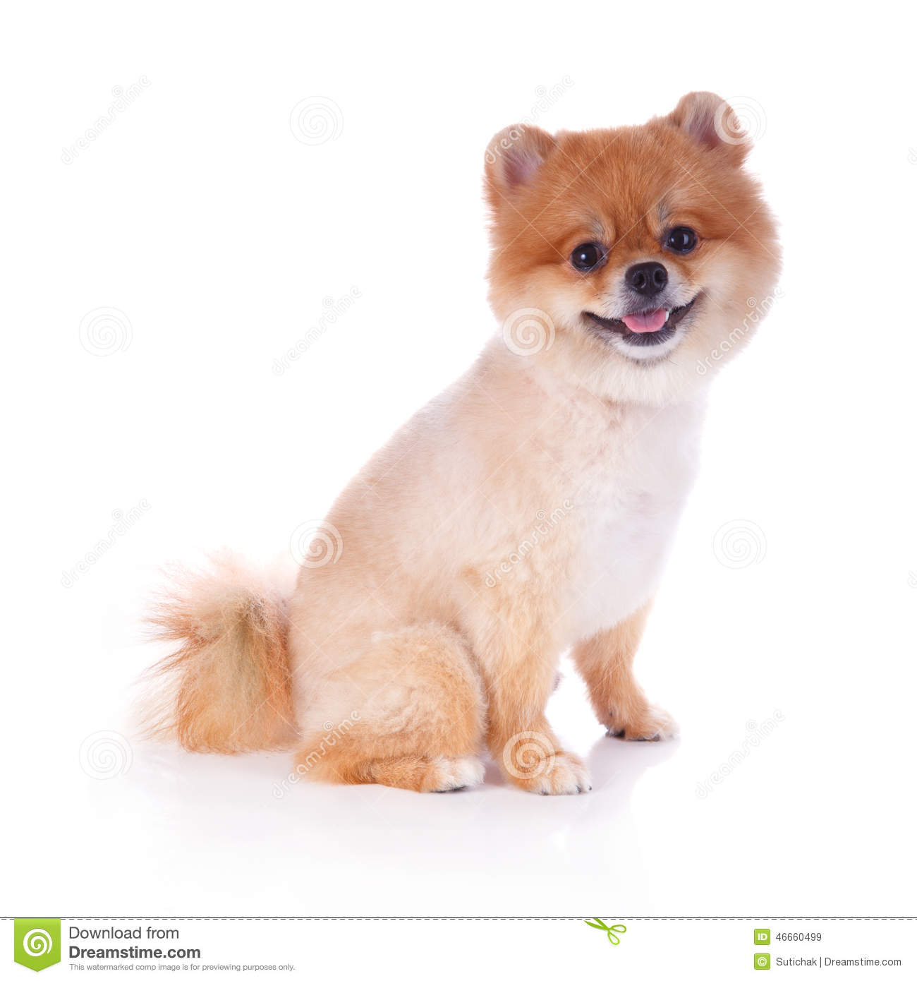 pomeranian with no hair pomeranian dog brown short hair stock photo image 46660499 2730