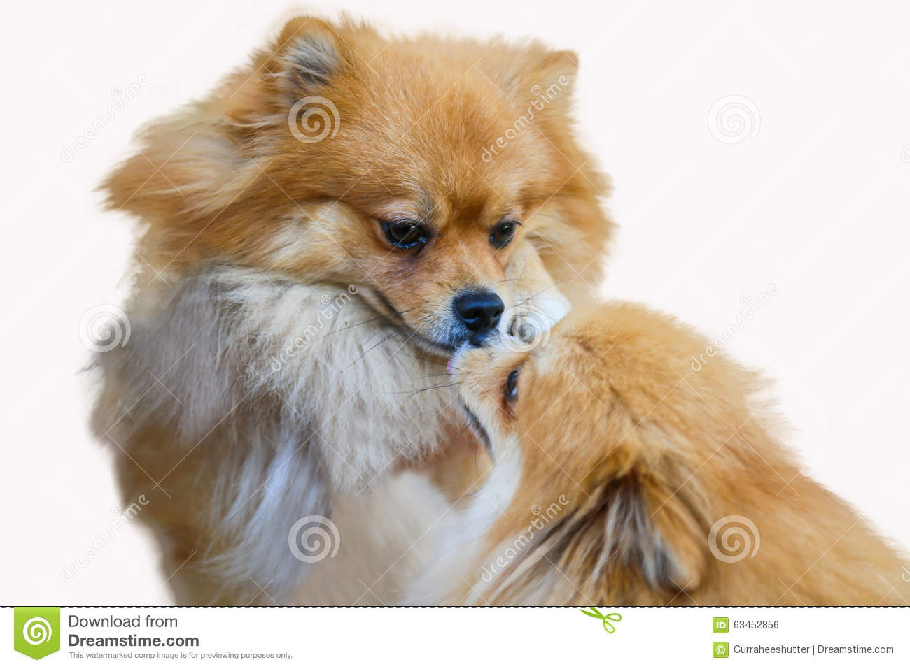 Pomeranian Dog Close Up Portrait Pomeranian Dog Small Isolation On