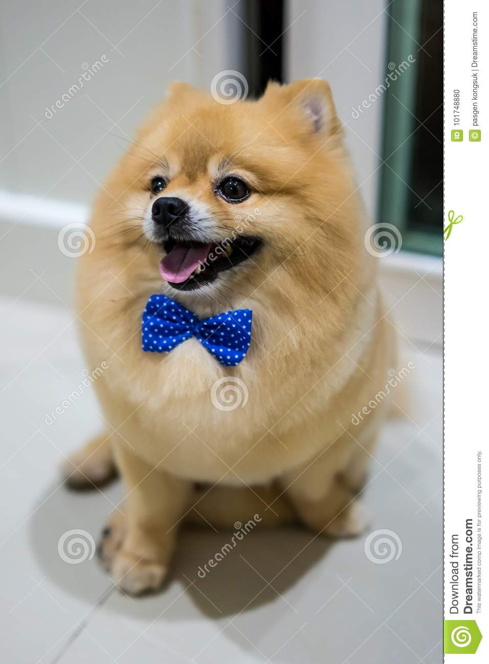 Pomeranian Dog Cute Pets Short Hair Style In Home Selective Focus On Eye Stock Photo Image Of Action Breed 101748880