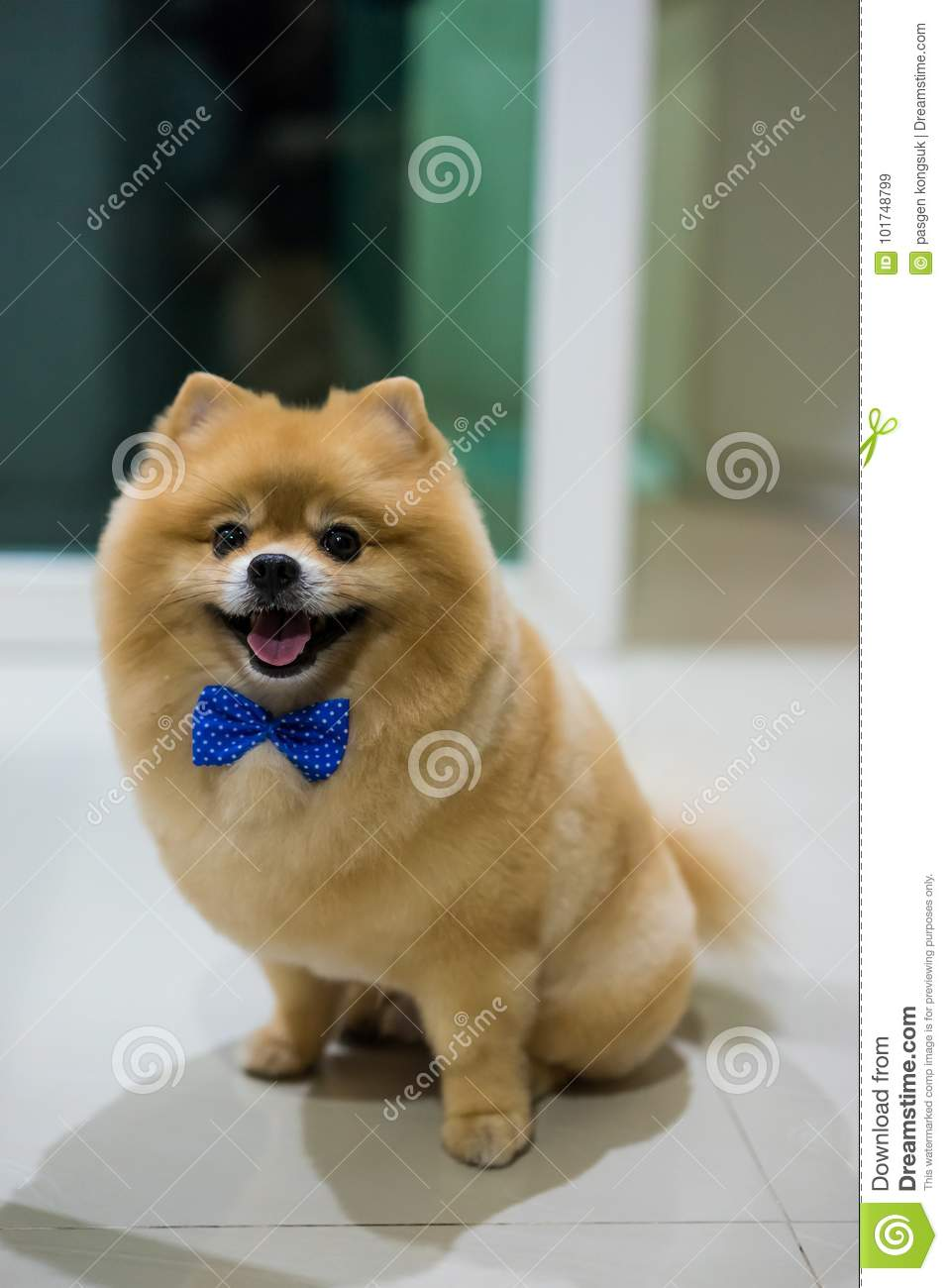 Pomeranian Dog Cute Pets Short Hair Style In Home Selective Focus On Eye Stock Image Image Of Happy Breed 101748799