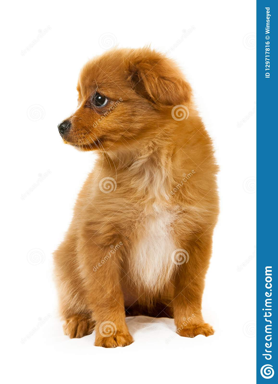 Pomeranian Dog Fluffy Cute Puppy Stock Photo Image Of Brown Purebred 129717816