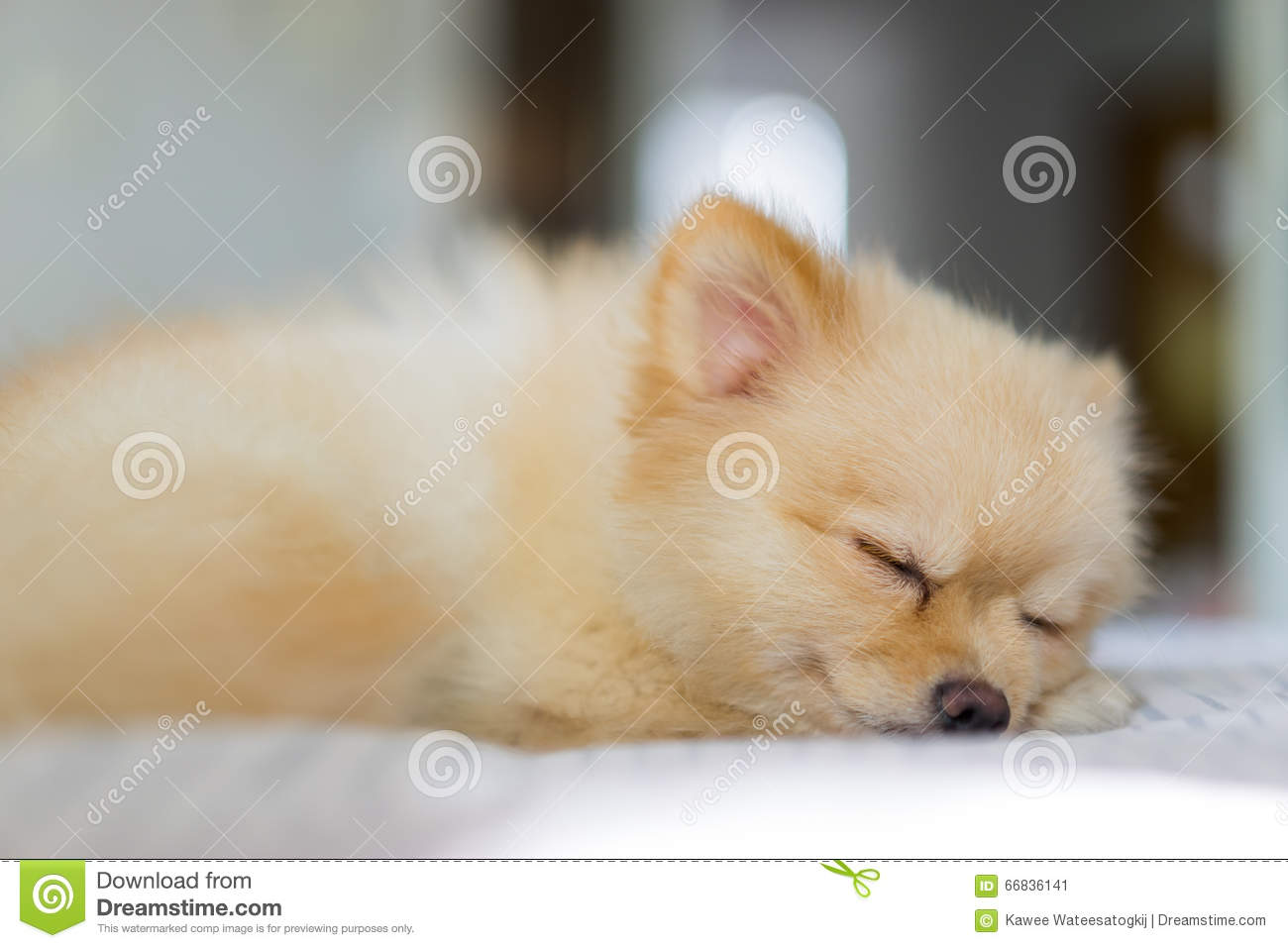 Pomeranian Dog In Hair Shed Period Sleeping On The Sofa Focus On