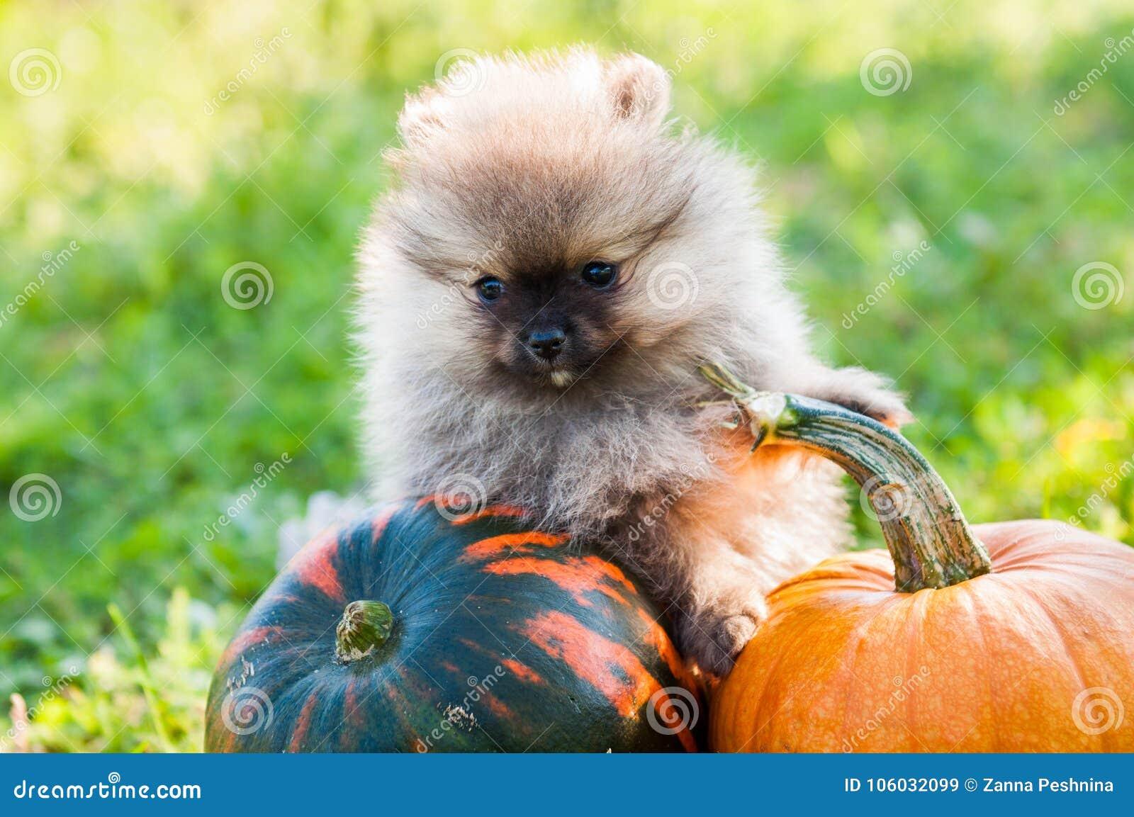 pomeranian dog and pumpkin, halloween stock image - image of curious