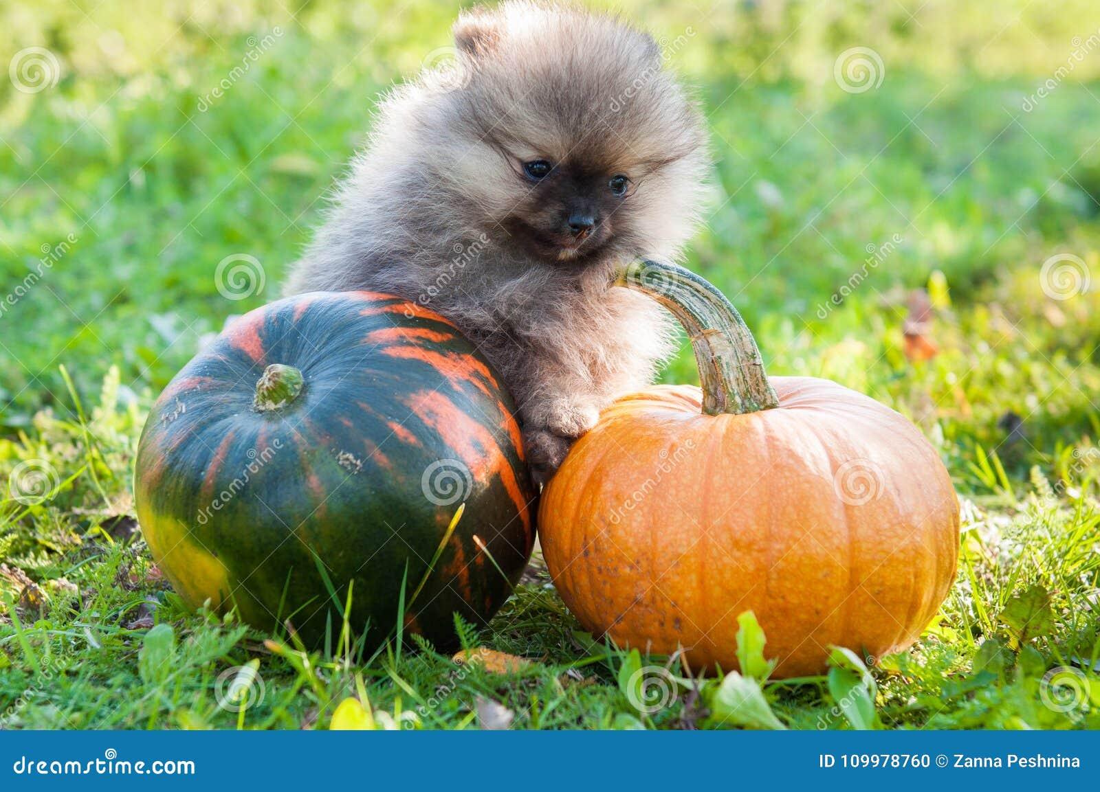 pomeranian dog and pumpkin, halloween stock photo - image of idea