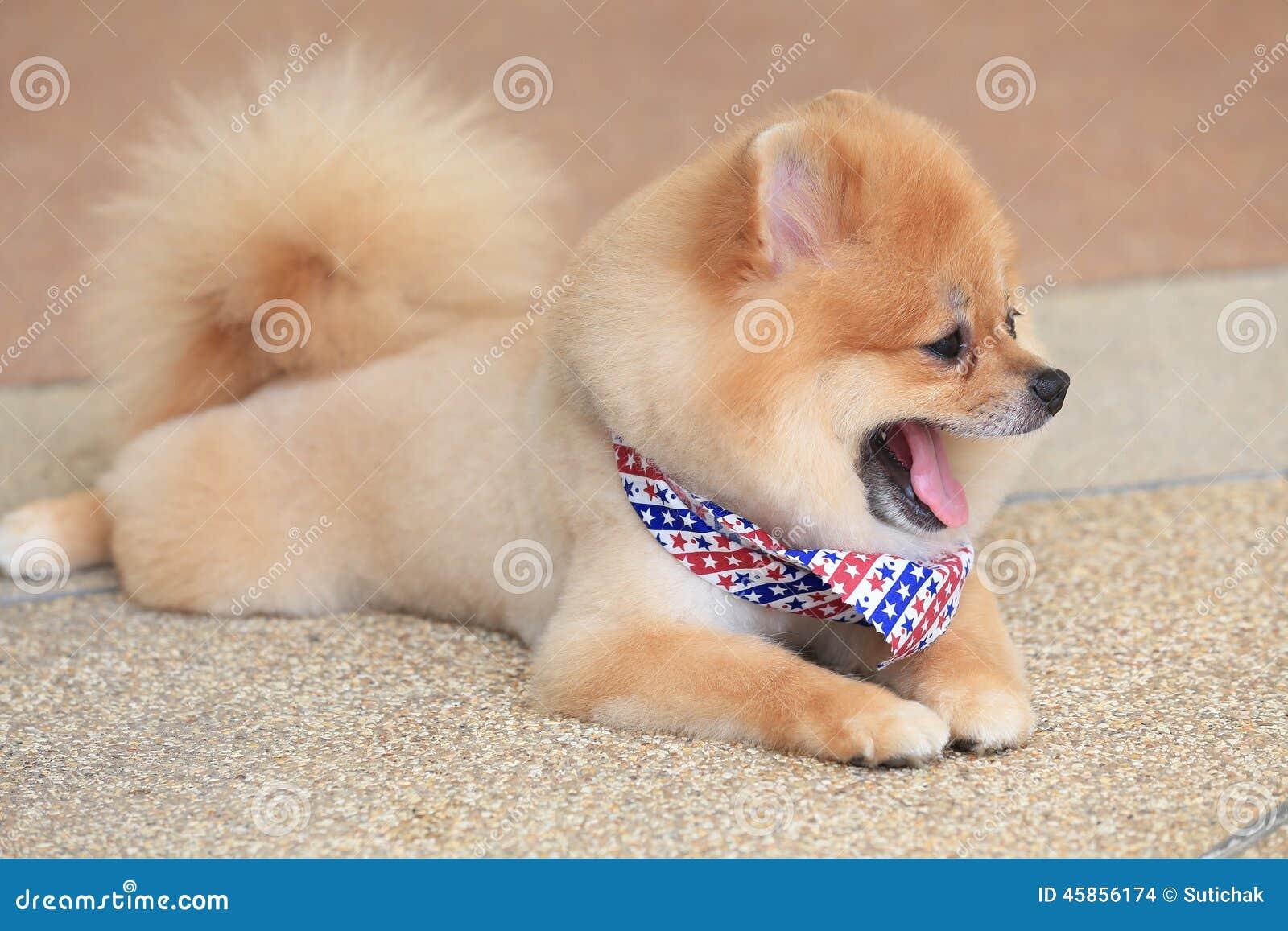 Pomeranian Dog Puppy Cute Pet Stock Photo - Image: 45856174