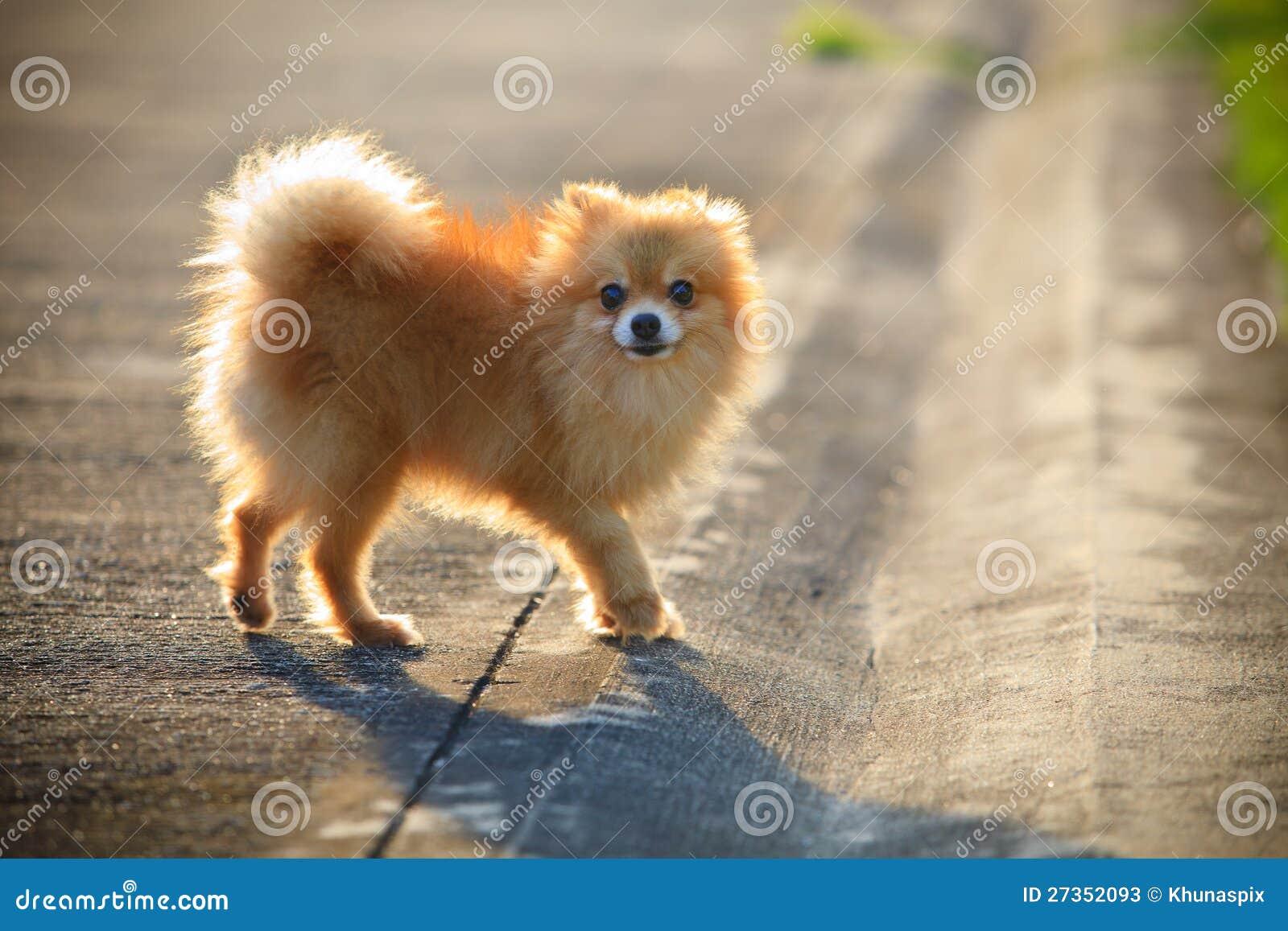 Pomeranian Dog Running On The Village Street Stock Photos ...