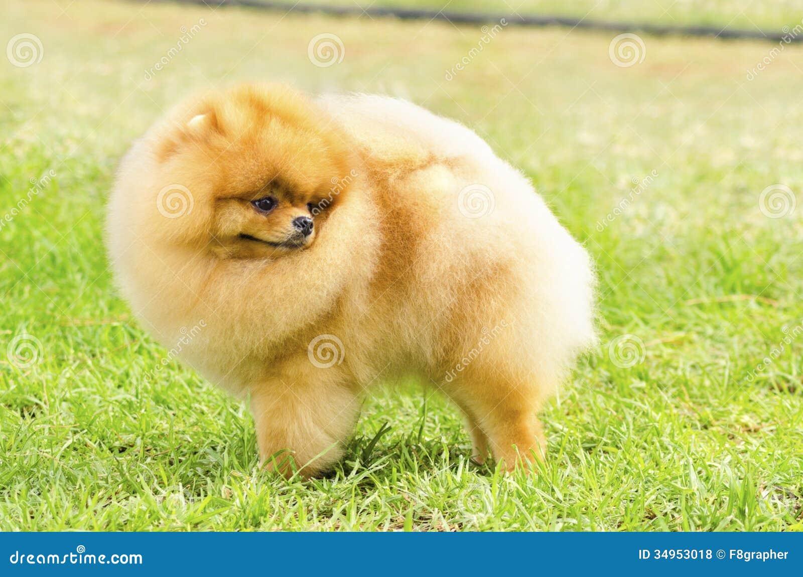 Pomeranian dog stock photo  Image of doggies, expressions