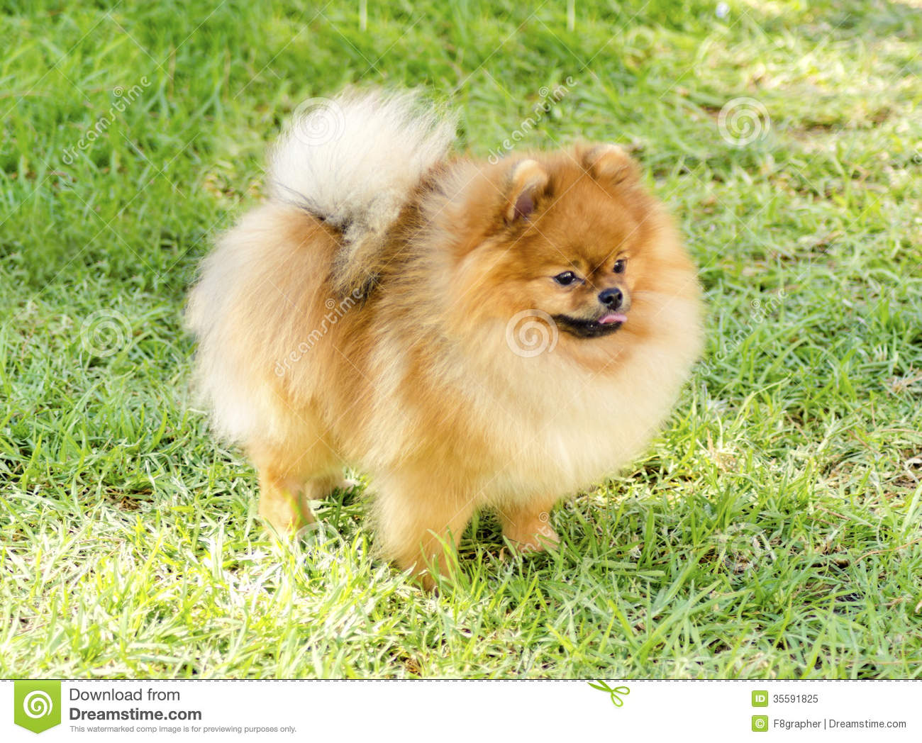 Pomeranian Dog Stock Image Image Of Joyful Beautiful 35591825