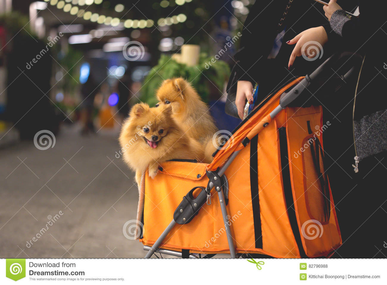 Pomeranian Dog Sit In The Trolley In Supermarket Stock Photo