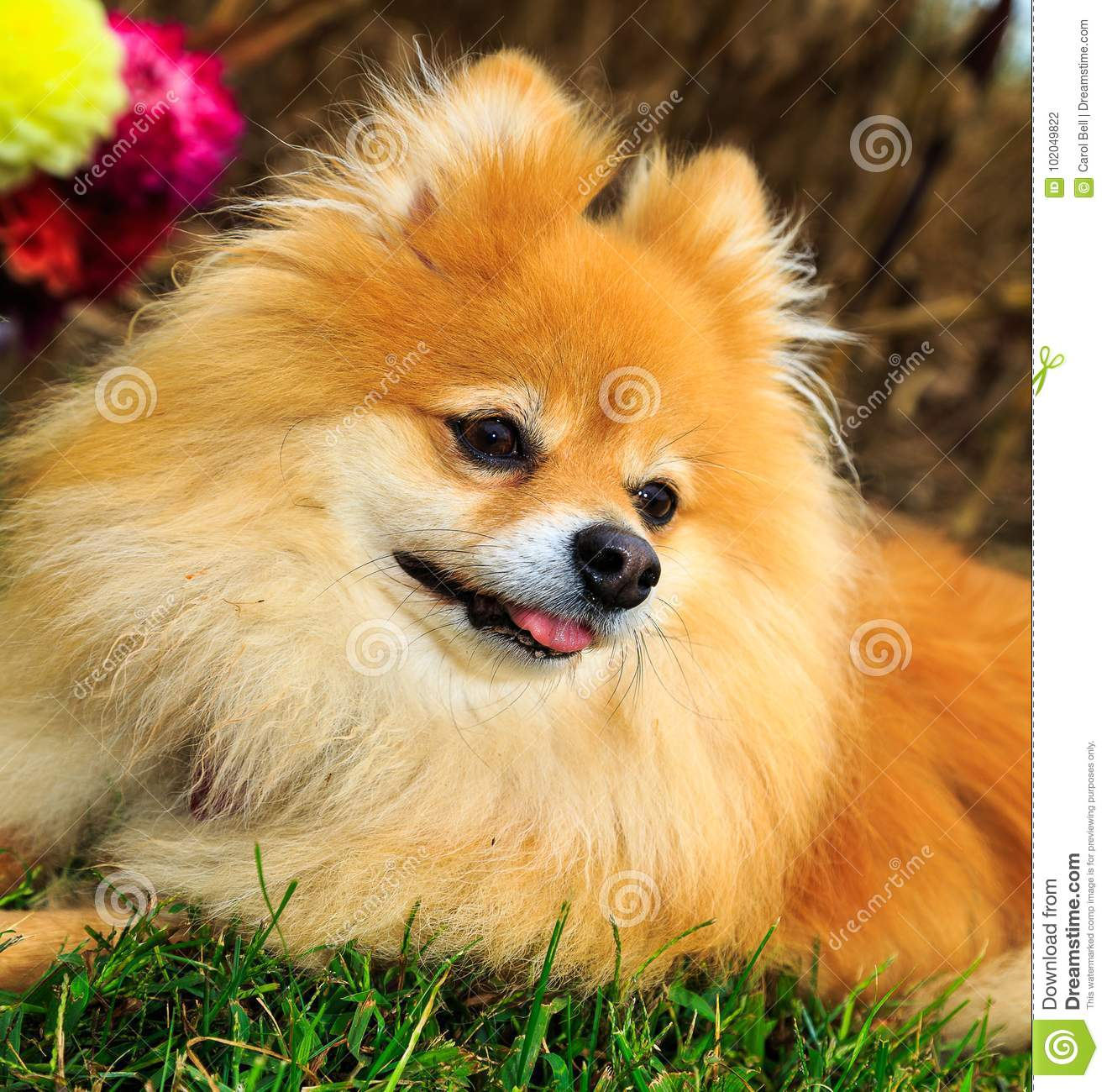 Pomeranian Dog Sitting In Corn Field With Flowers In Back Ground