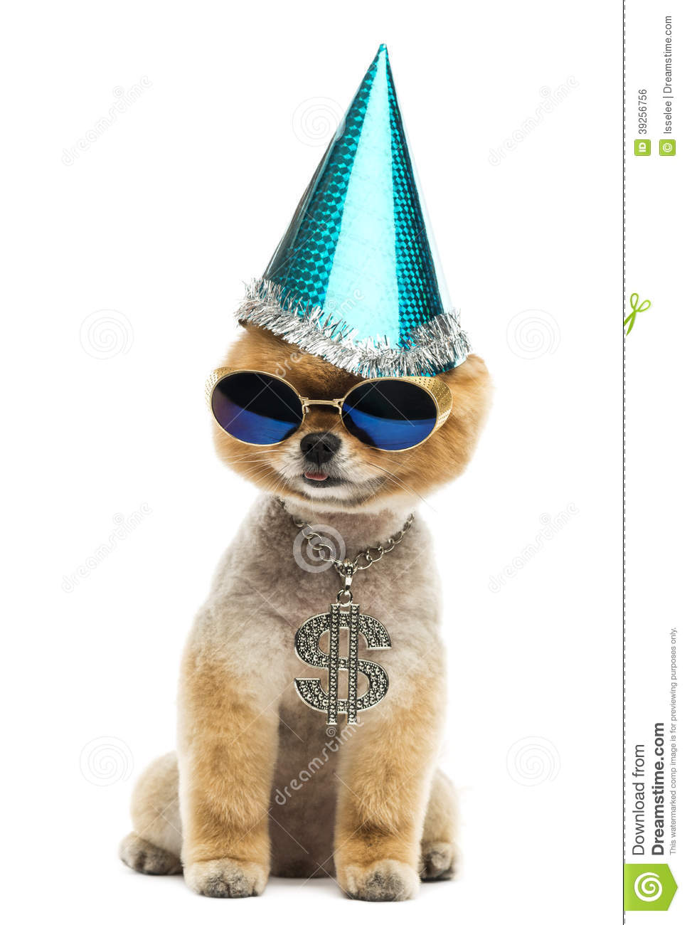 Pomeranian Dog Wearing Dollar Necklace Blue Sunglasses