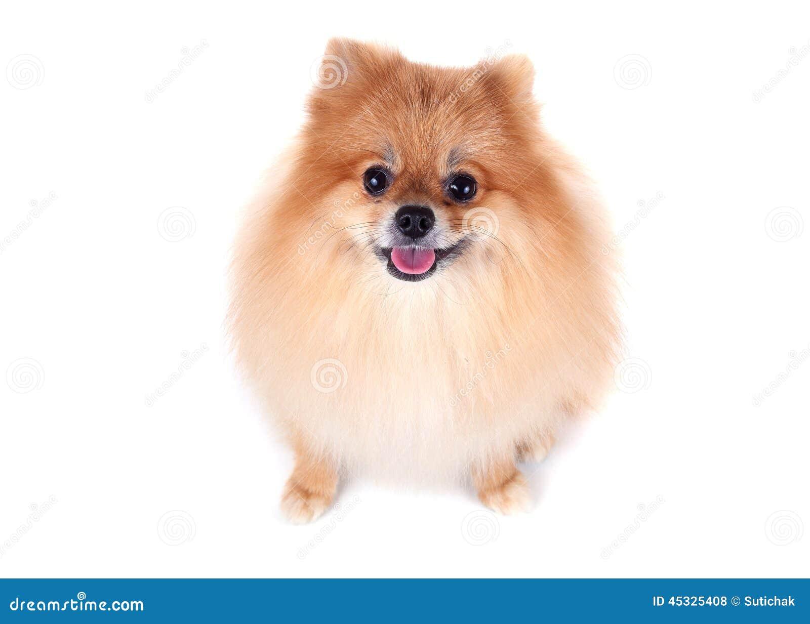 Pomeranian Dog On White Background Stock Photo Image Of Smile