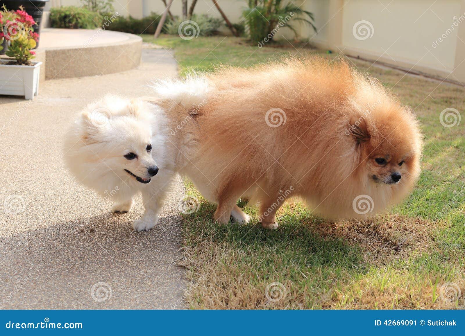 Pomeranian Dogs Mating Stock Photo 42669091 Megapixl