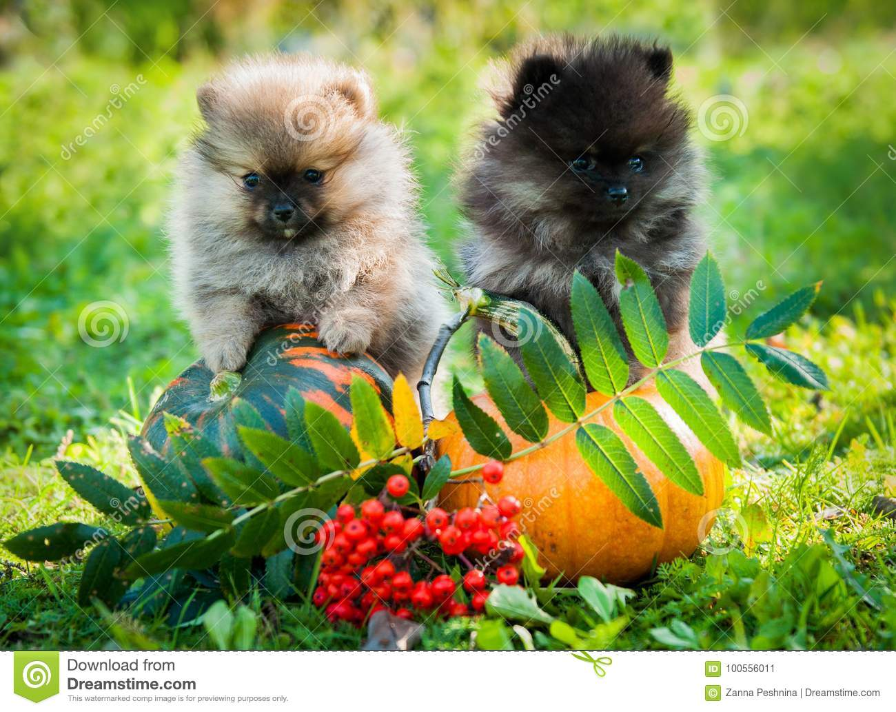 pomeranian dogs and pumpkin, halloween stock image - image of litter
