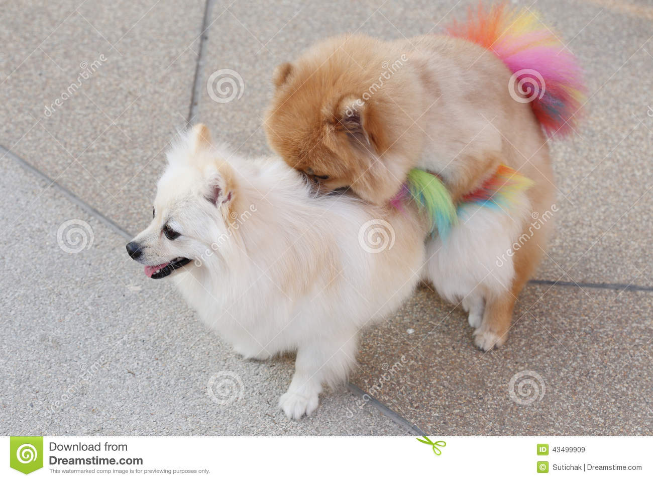 Pomeranian Dogs Stock Image Image Of Grooming Sexual 43499909
