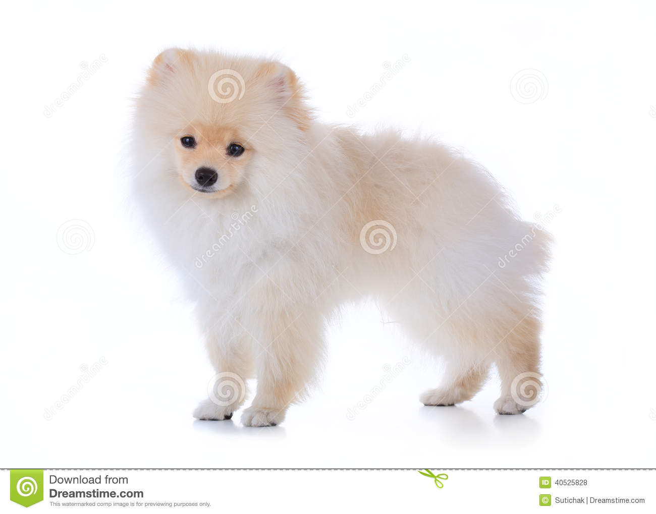 Beautiful German Spitz Canine Adorable Dog - pomeranian-grooming-dog-white-background-cute-pet-40525828  Snapshot_418812  .jpg