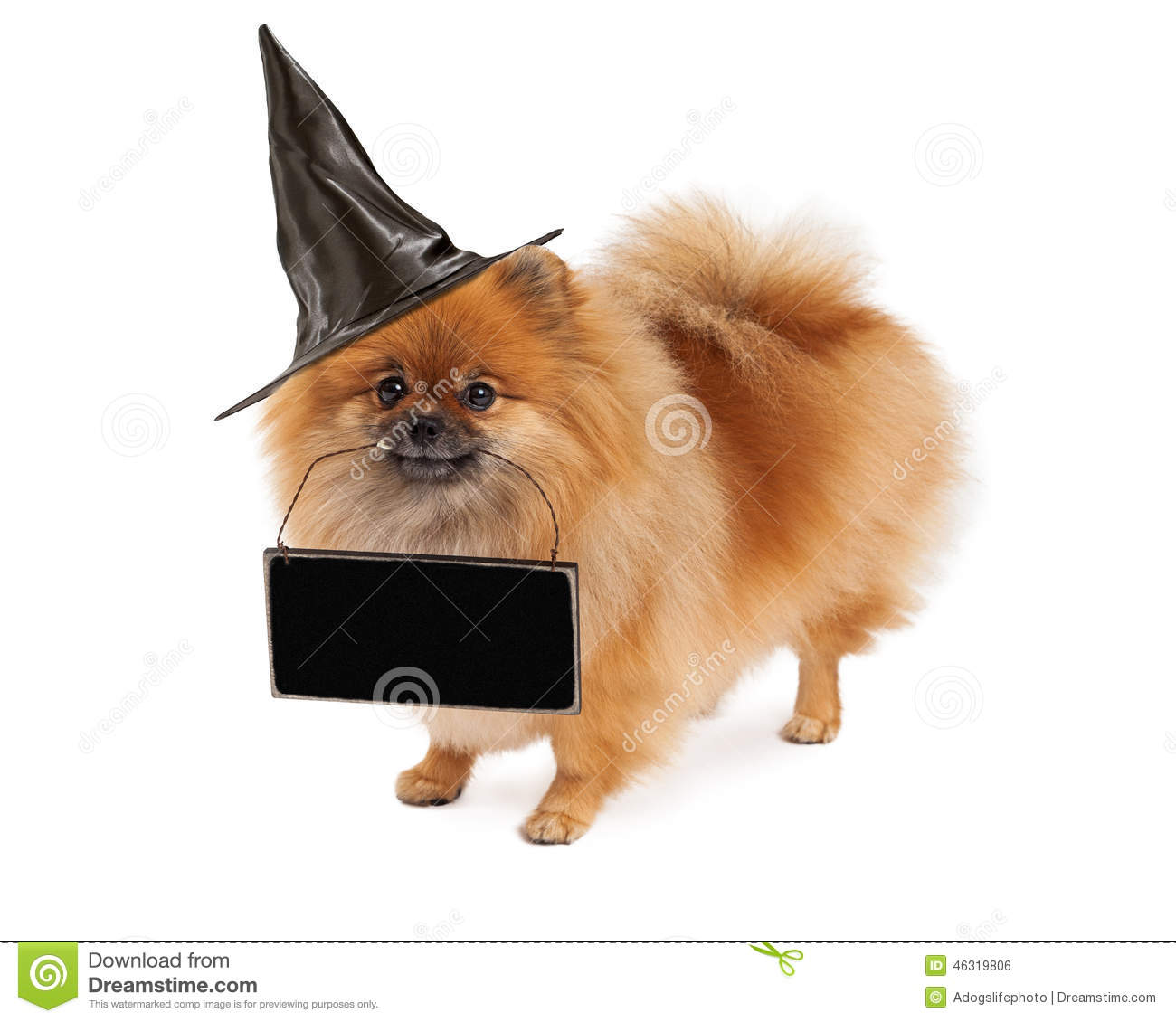 pomeranian halloween witch dog carrying blank sign stock photo
