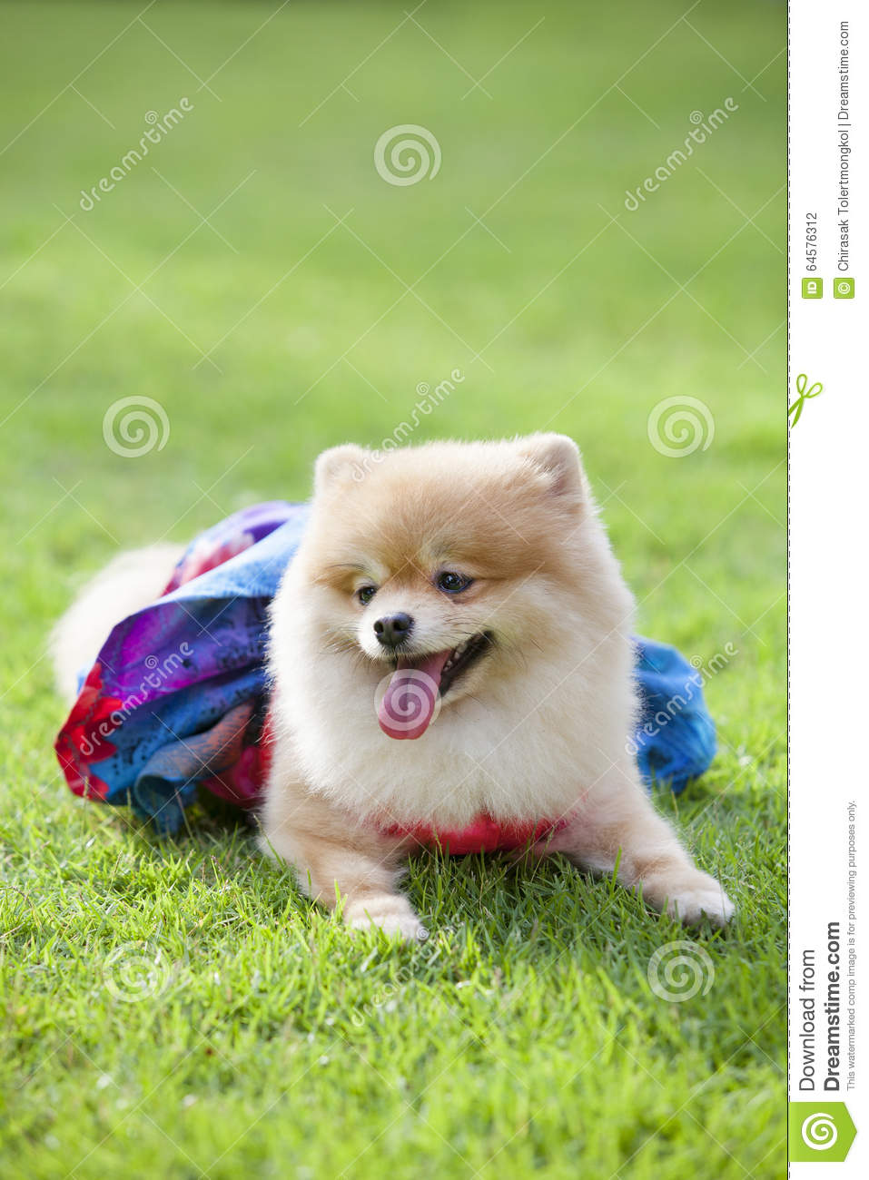 pomeranian hund auf dem rasen stockfoto bild 64576312. Black Bedroom Furniture Sets. Home Design Ideas