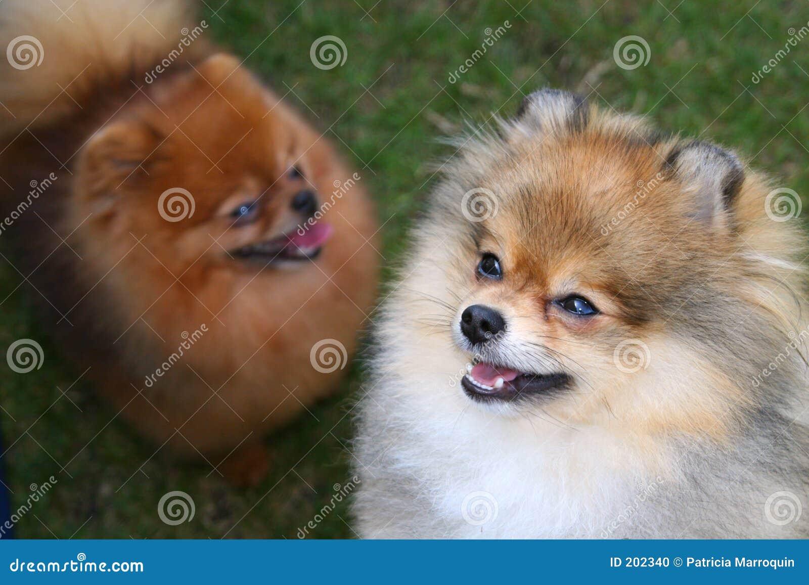 Pomeranian par