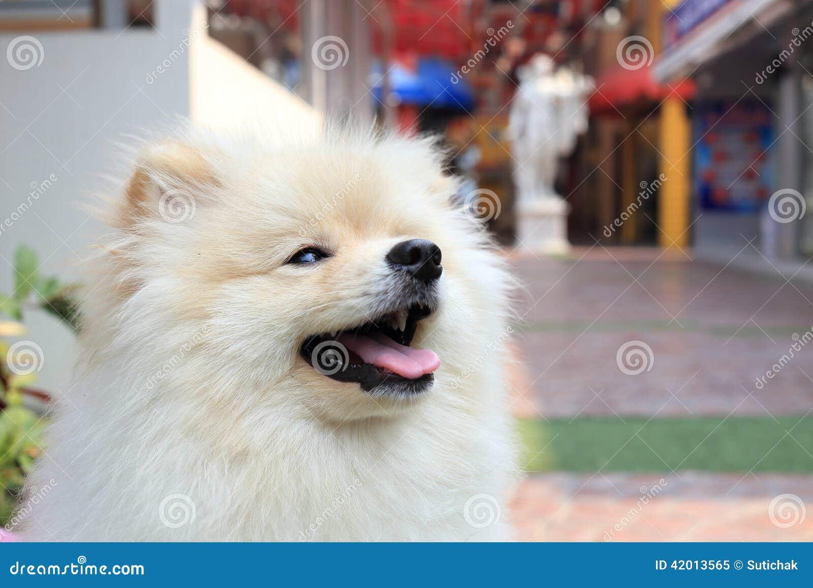 Pomeranian Puppy Dog Stock Image Image Of House Show 42013565
