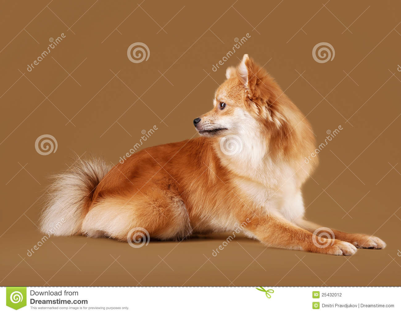Pomeranian Puppy On Light Brown Gradient Background Stock ...
