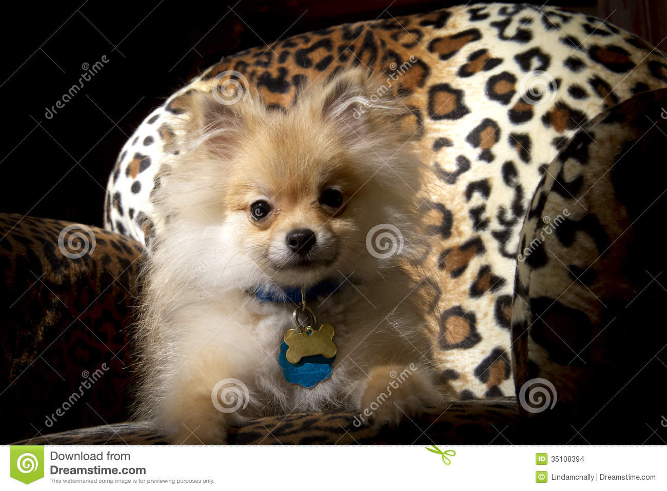 Pomeranian Puppy Dog Stock Photo Image Of Pomeranian 35108394