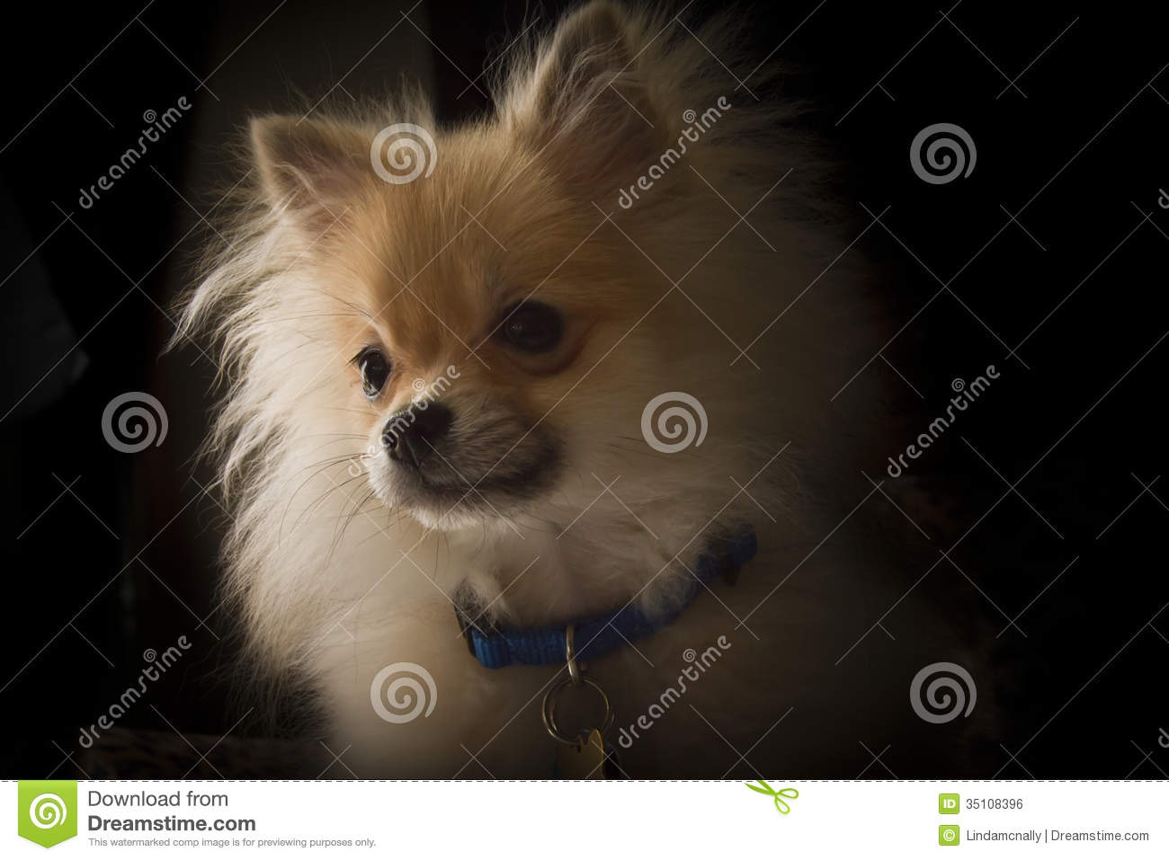 Pomeranian Puppy Stock Photo Image Of Love Breeders 35108396