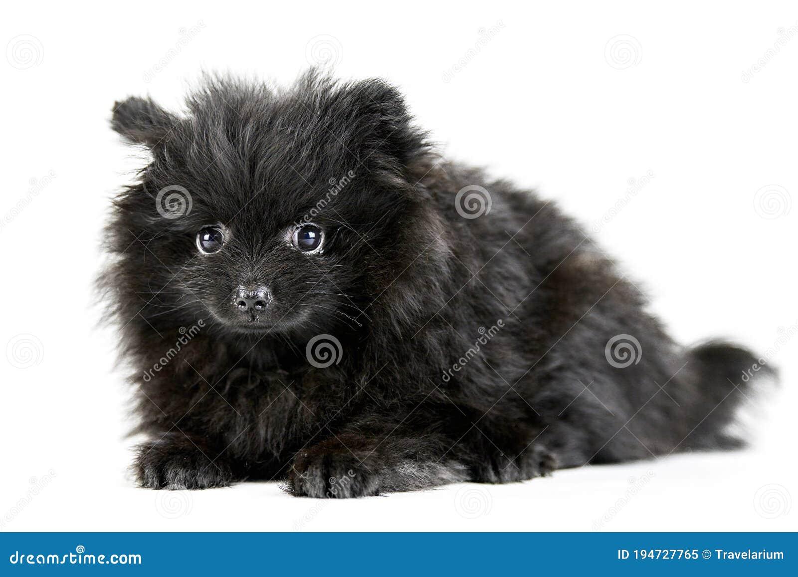 Pomeranian Puppy Spitz Isolated Stock Image Image Of Howl Black 194727765