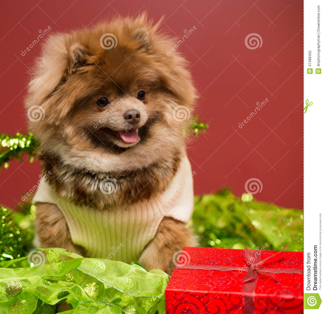 pomeranian puppy stock image. image of halloween, white - 47488455
