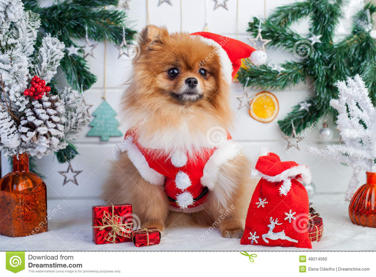 pomeranian outfits pomeranian in santa clothing on a background of christmas 3330