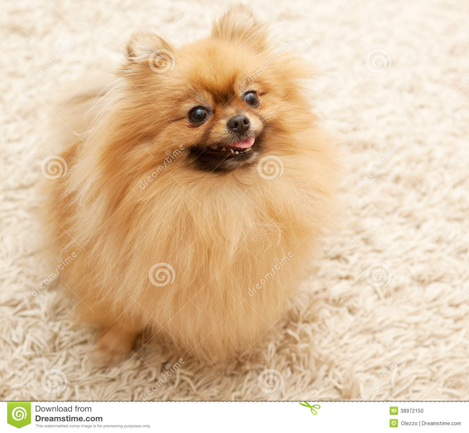 Pomeranian Sitting On Carpet Stock Photo Image 38972150