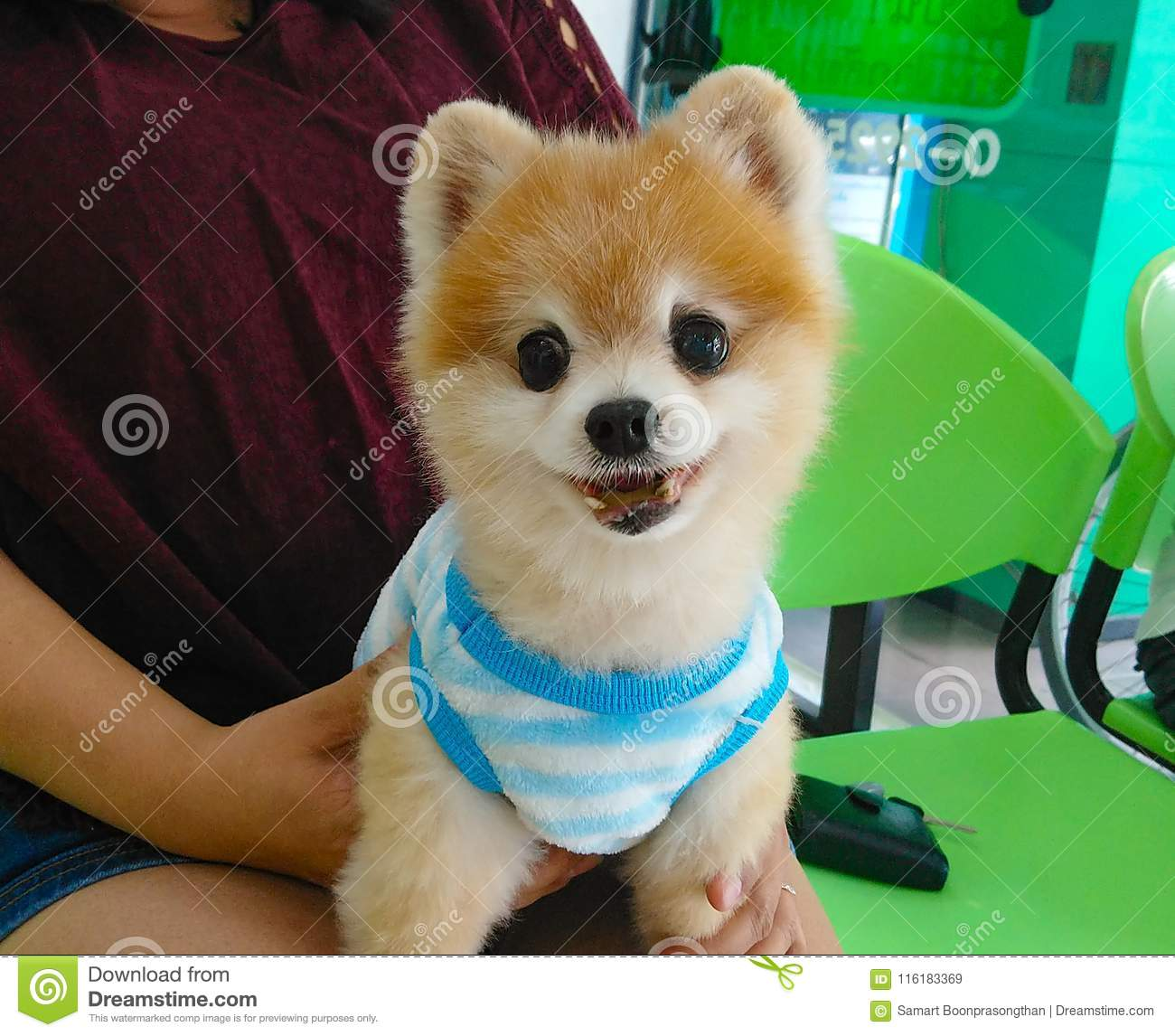 Pomeranian Small Dog Breed This Species One Of The Pet Stock Image