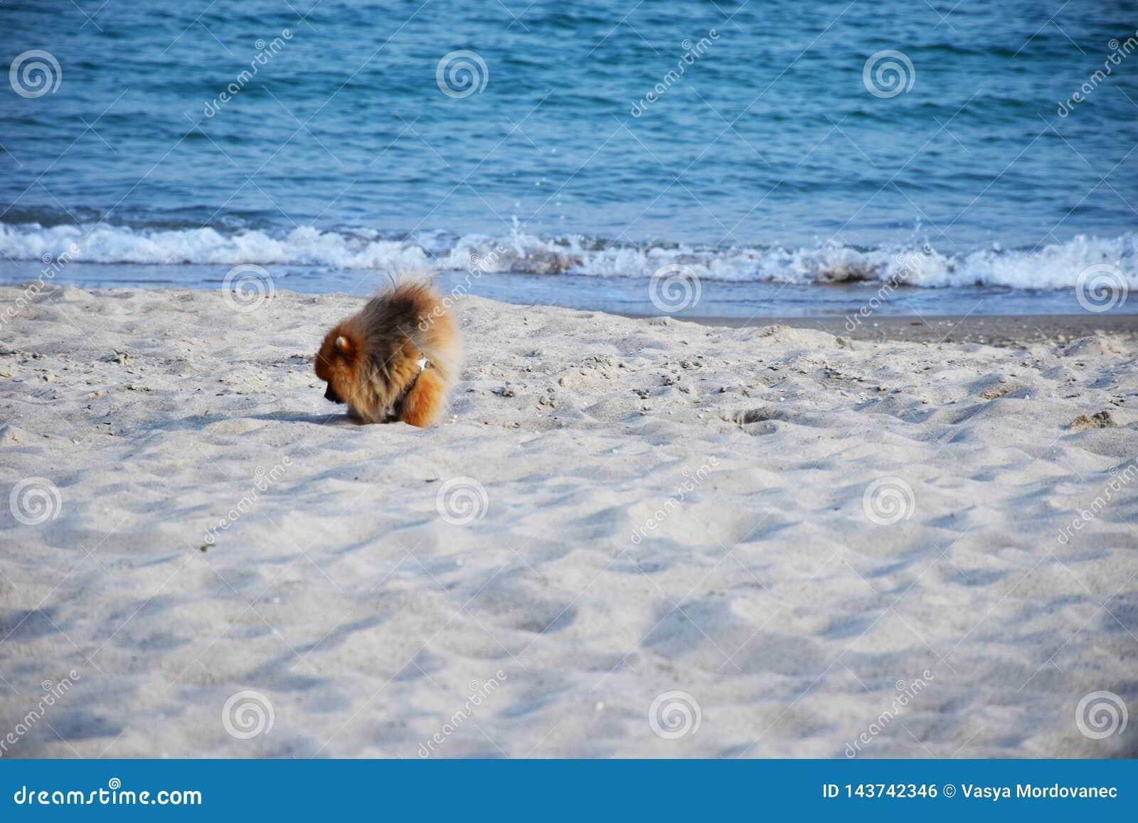 Pomeranian Spitz little dog