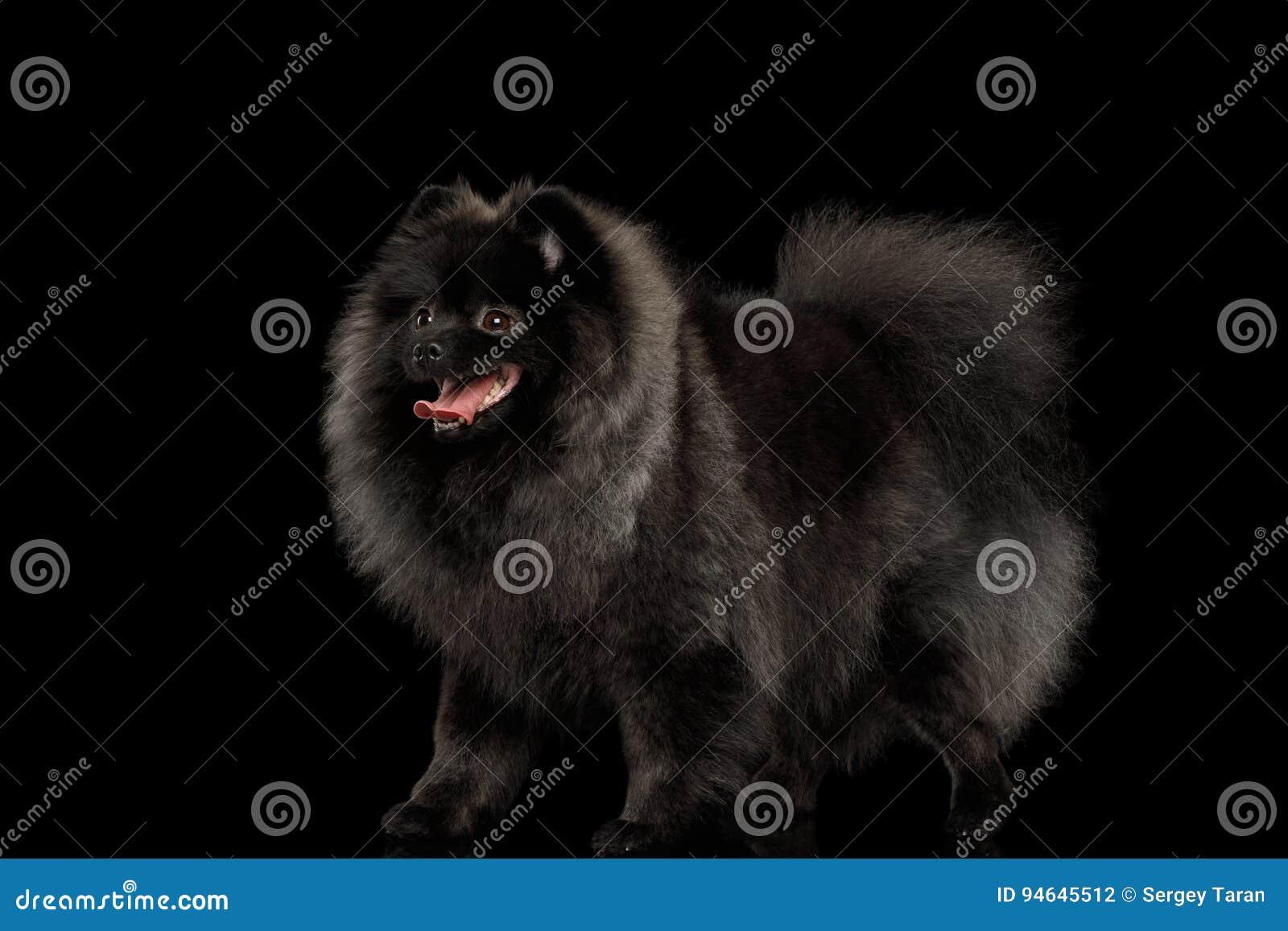 Pomeranian Spitz Dog On Black Stock Photo Image Of Face Fluffy