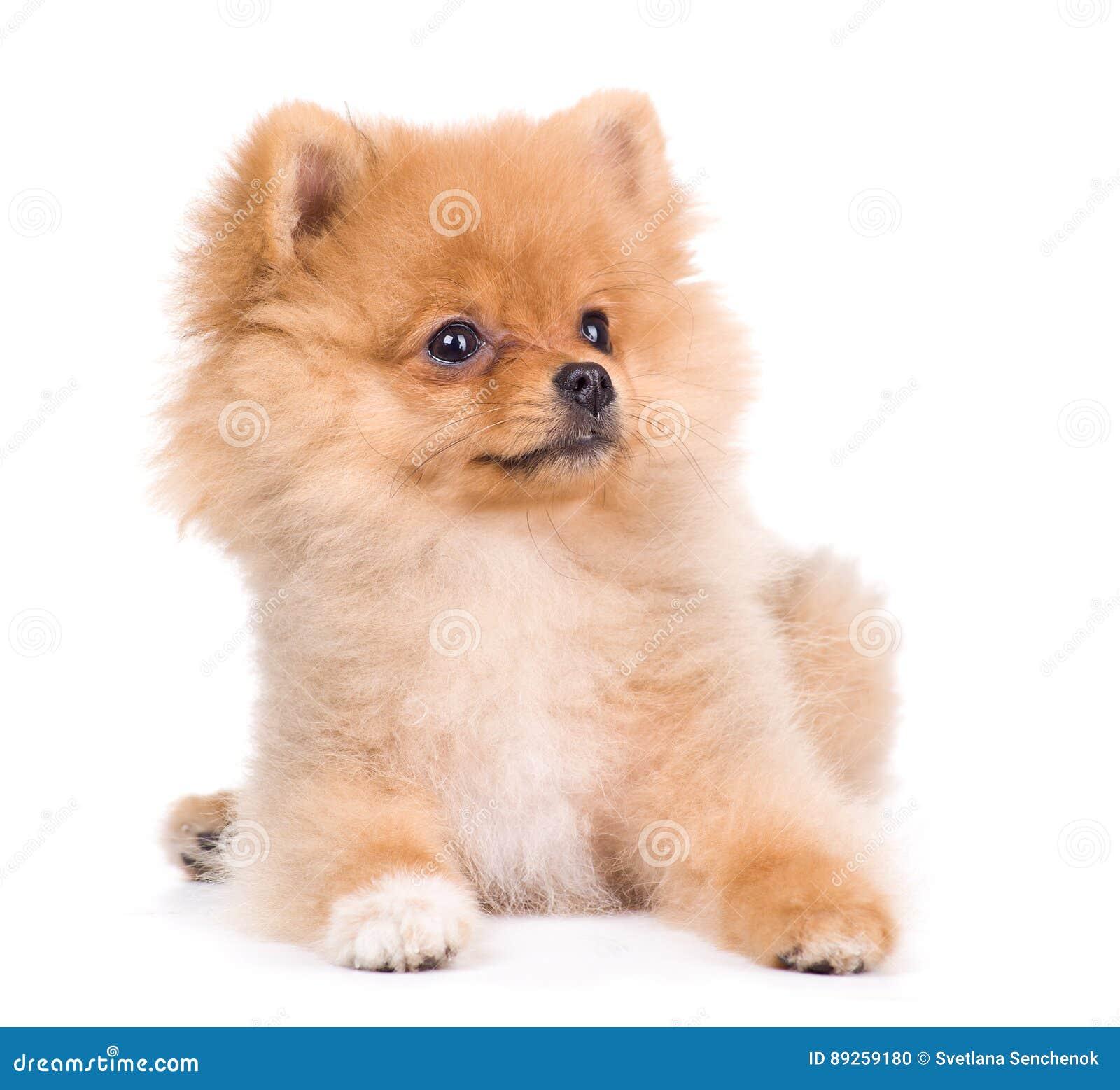 Pomeranian spitz dog, isolated on