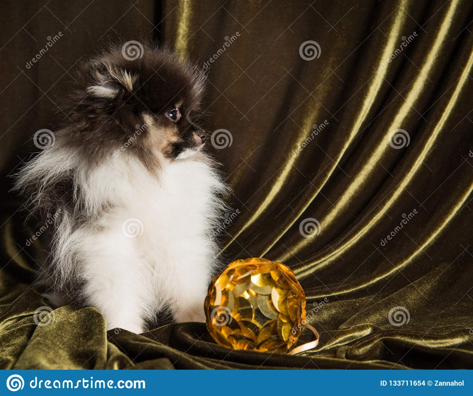 Pomeranian Spitz dog puppy with New Year ball on Christmas or New Year