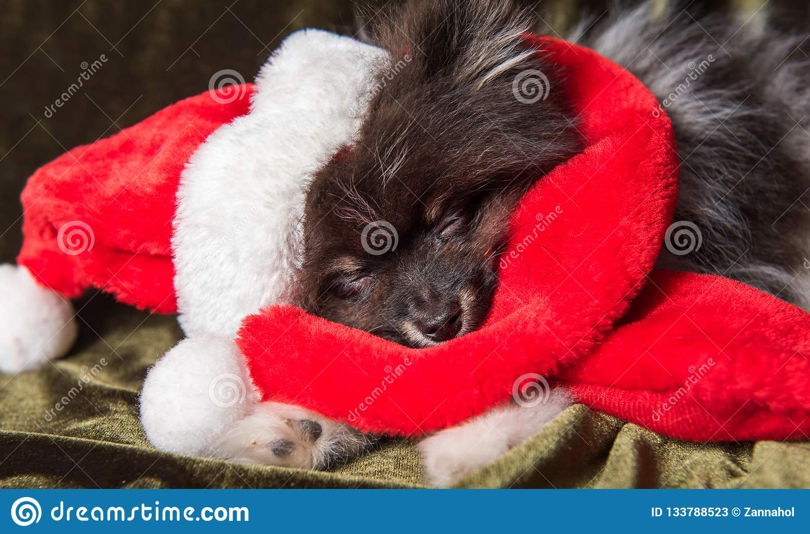 Pomeranian Spitz dog puppy in santa hat on Christmas and New Year