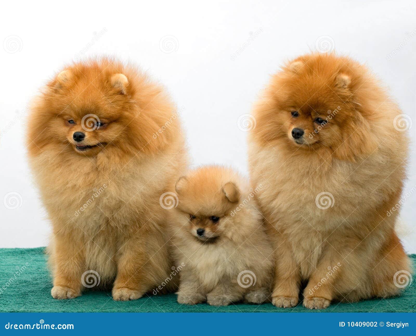 Dog Breeders Pomeranian Snowpoms | Apps Directories