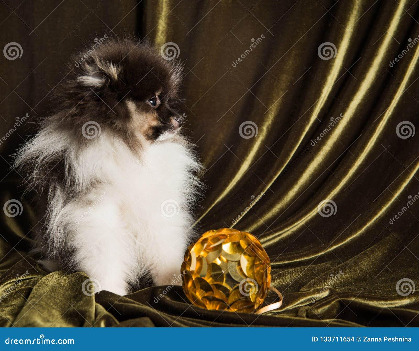 Pomeranian-Spitz-Hundewelpe mit Ball des neuen Jahres auf Weihnachten oder neuem Jahr
