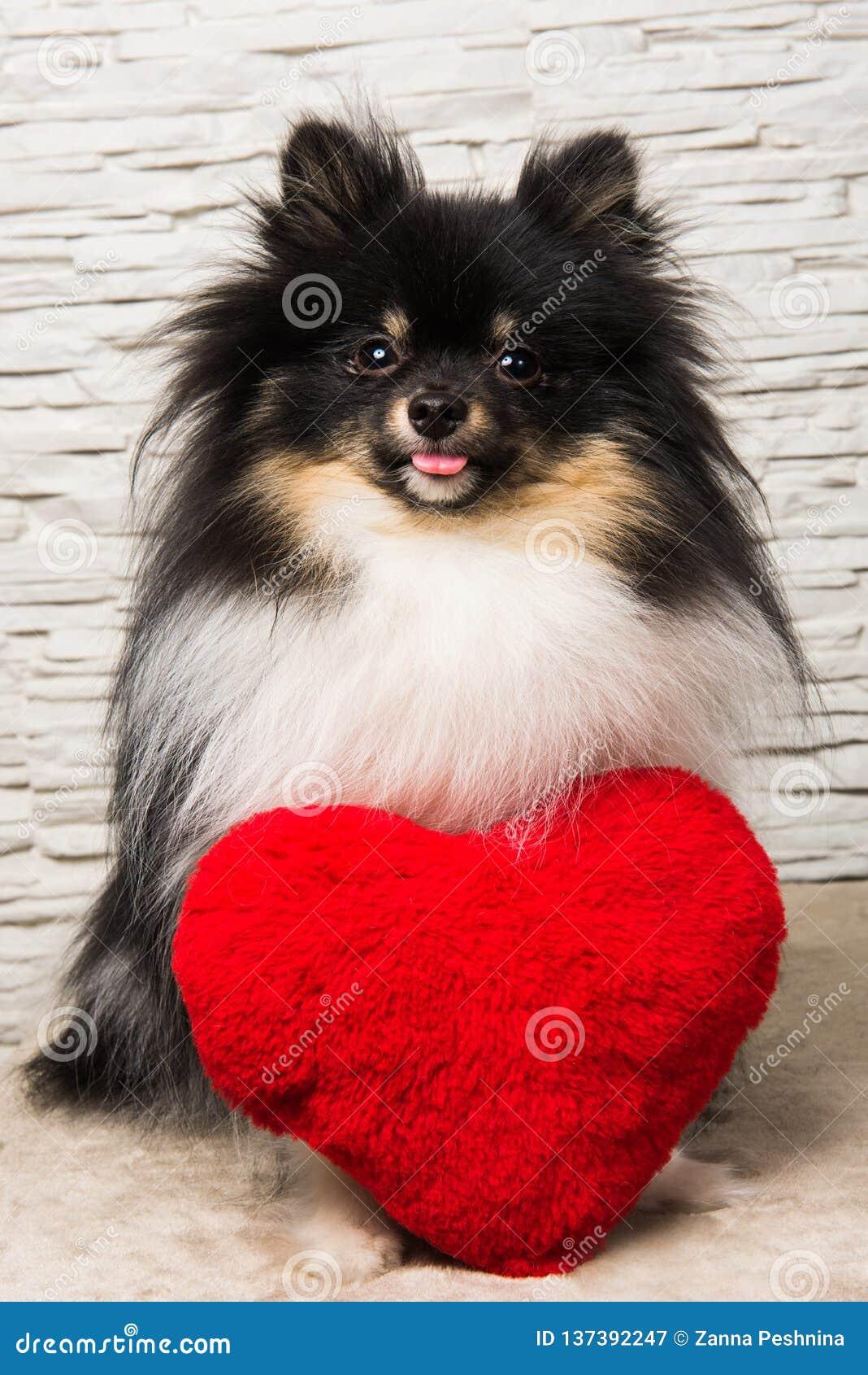 Pomeranian-Spitz-Hundewelpe mit rotem Herzen