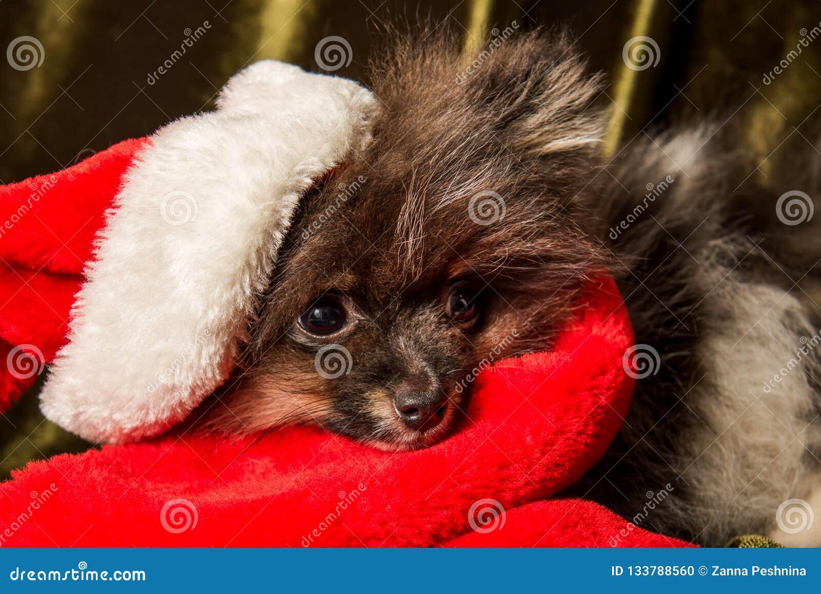 Pomeranian-Spitz-Hundewelpe in Sankt-Hut auf Weihnachten und neuem Jahr