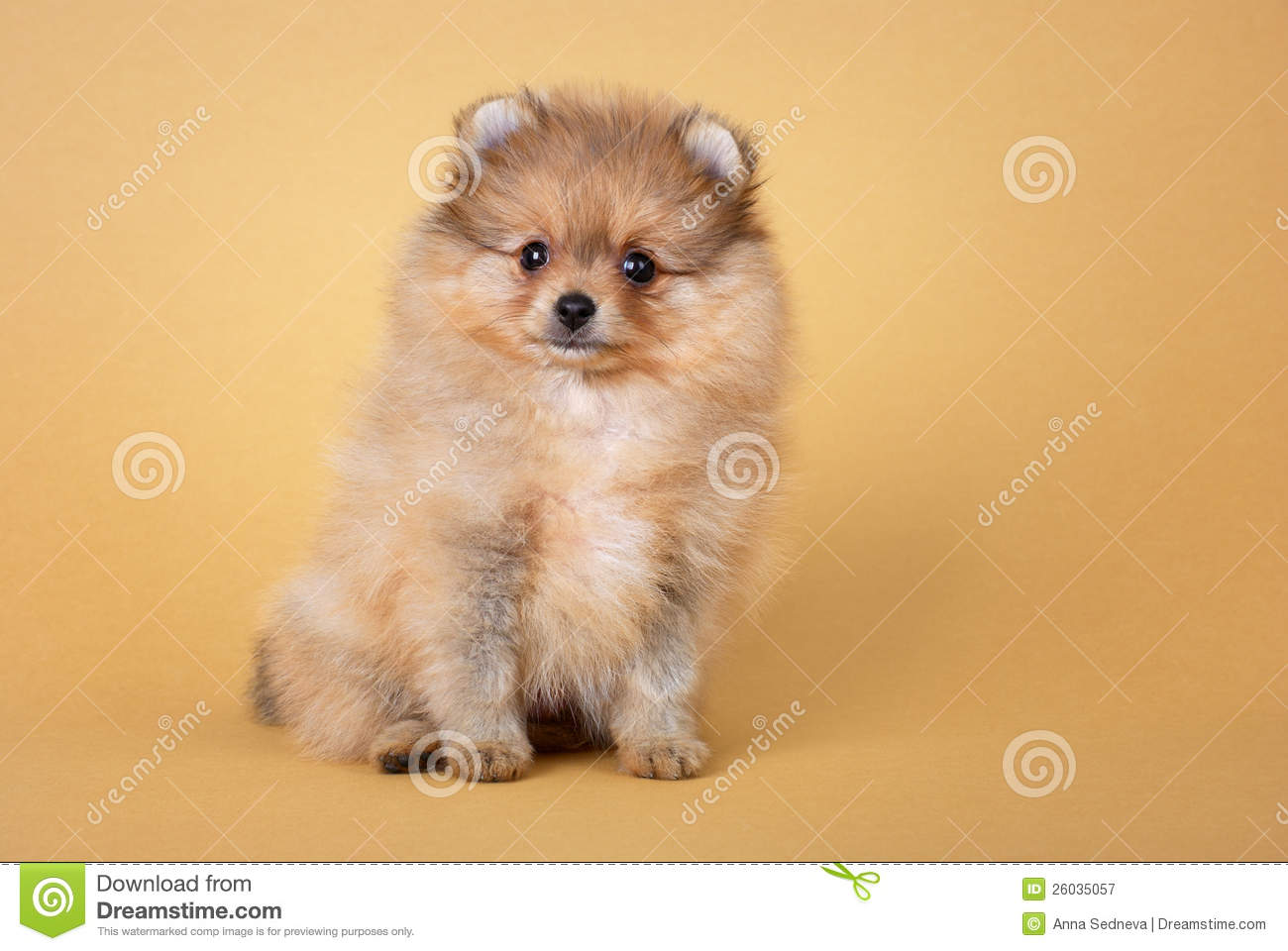 Pomeranian Spitz Puppy Royalty Free Stock Photography - Image: 26035057