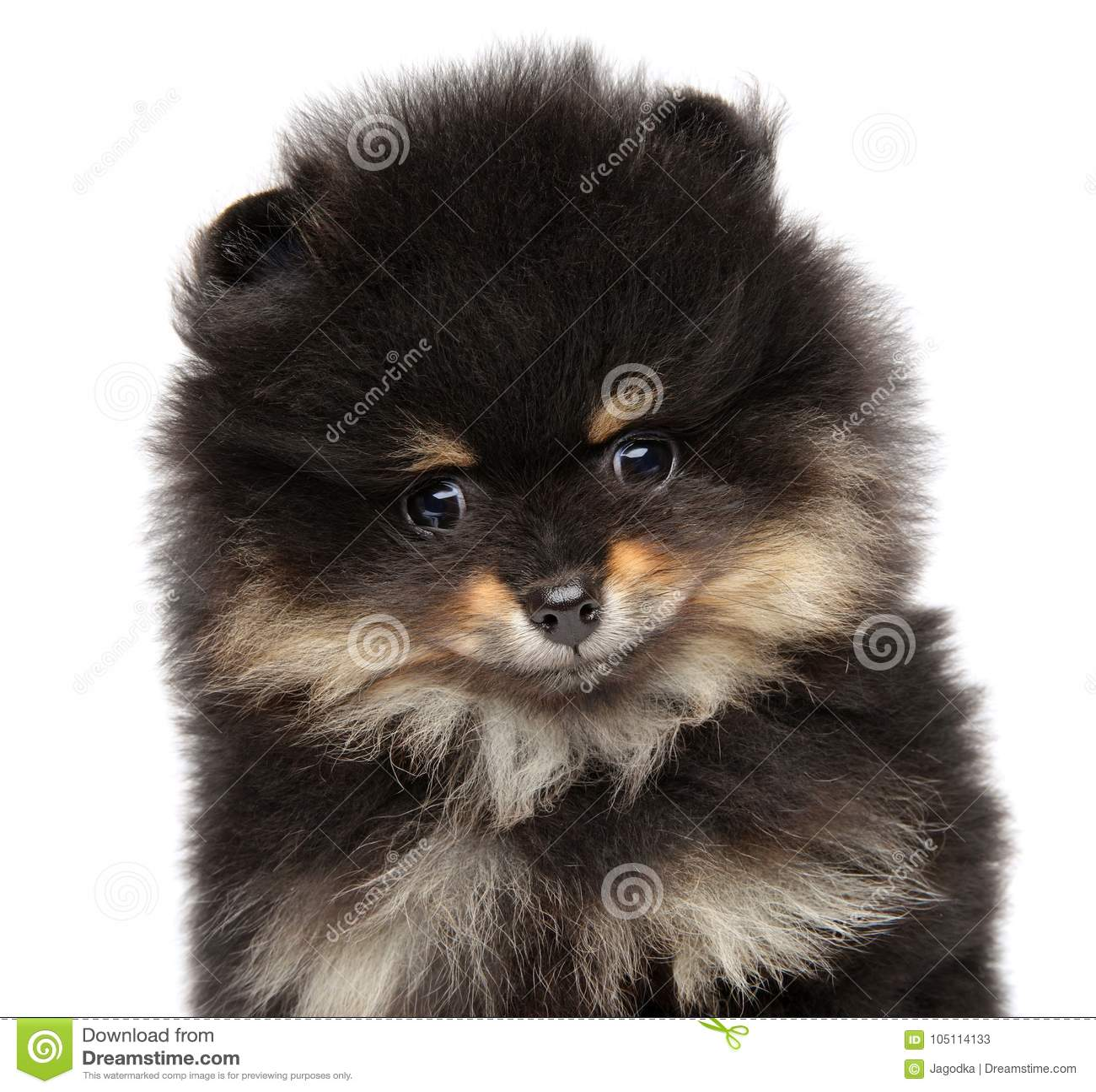 Pomeranian Spitz Puppy Baby Animal Theme Stock Image Image Of