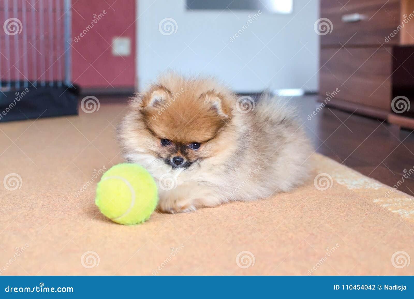 Pomeranian valp, liten hund med en hemmastadd boll
