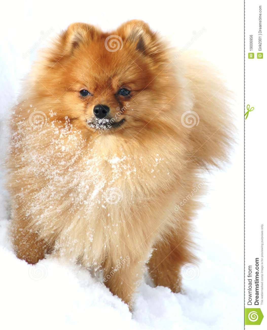 Pomeranian Clipart Pomeranian in winter