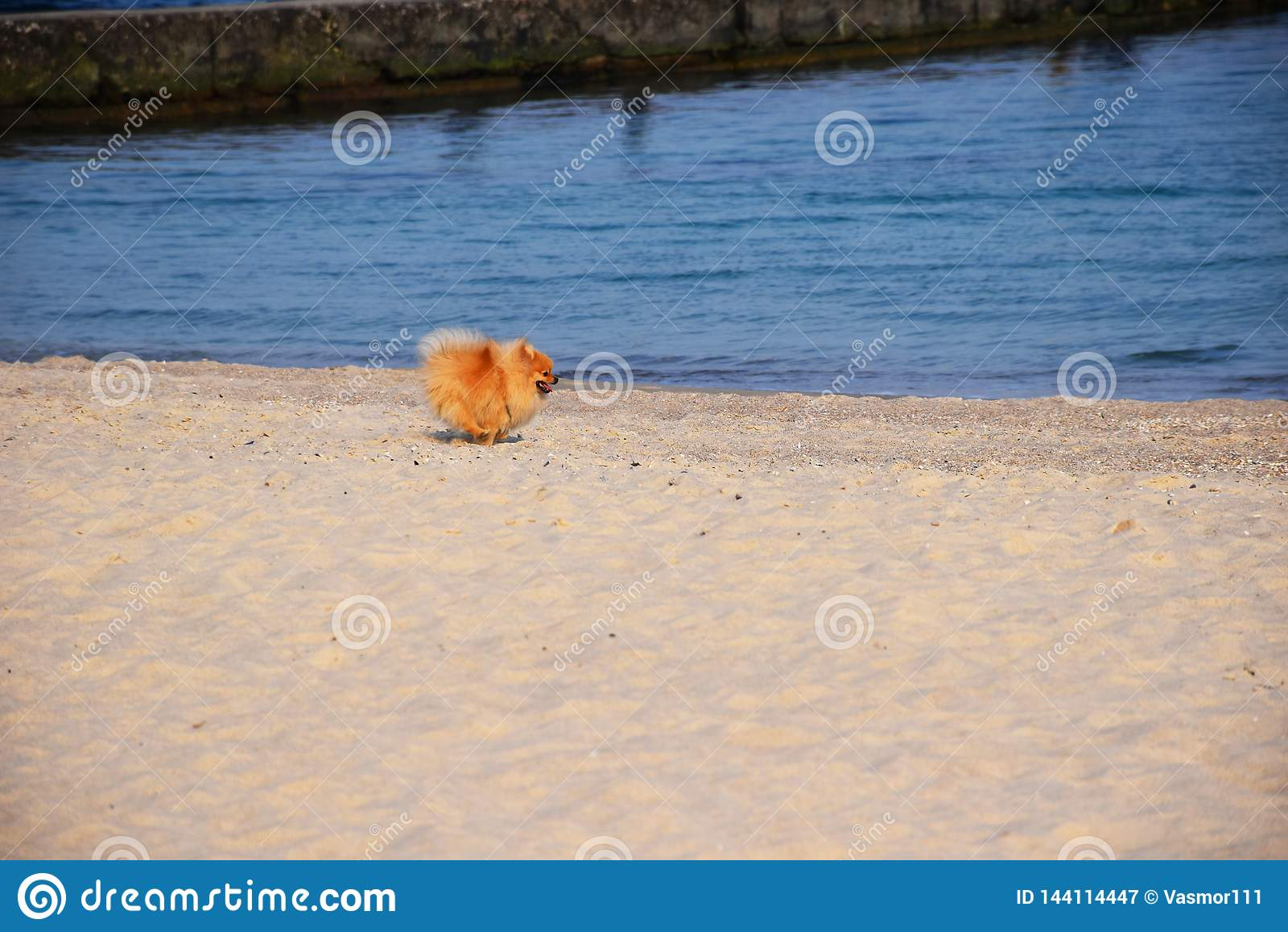 Pomeranianspitz weinig hond