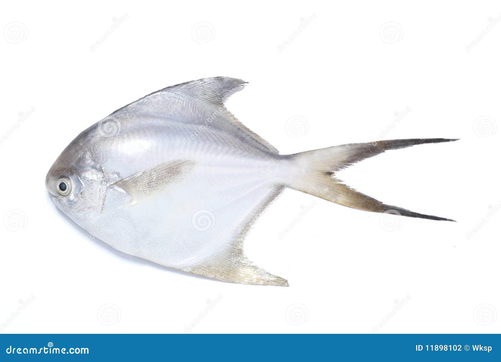 Pomfret fish stock photo. Image of fish, fins, fresh - 11898102