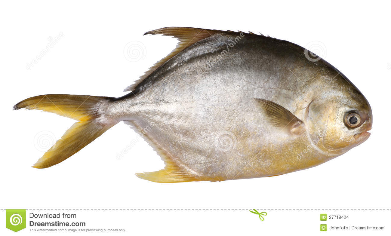 Pomfret fish stock photo image of fish seafood fresh for Image of fish